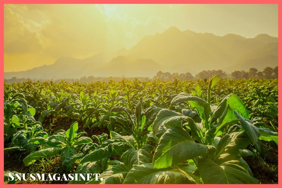 Hva er tobakk? Fakta om tobakk